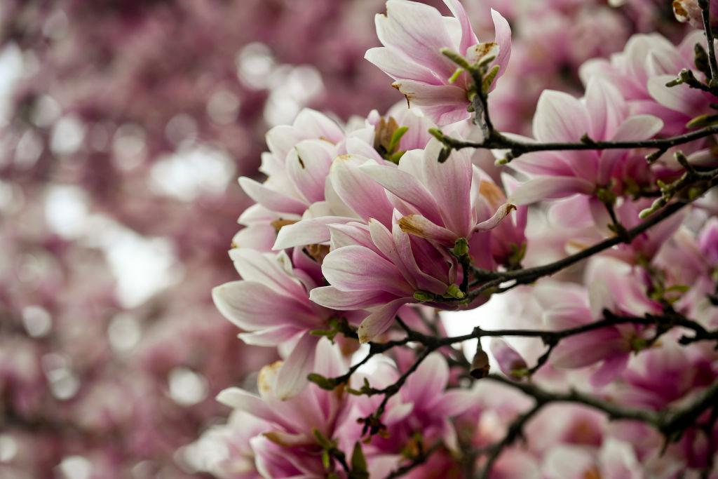 Magnolia Tree Flowers In Bloom in Cumru Township PA